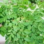 15-khasiat-dan-manfaat-daun-kelor-untuk-kesehatan-dan-efek-sampingnya-800x457