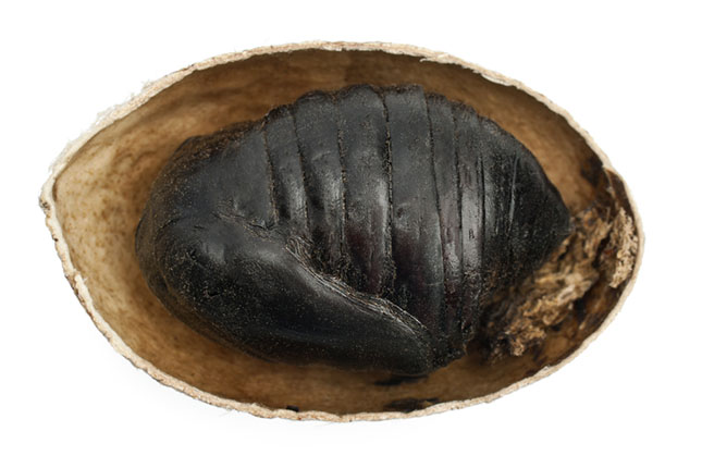 tussar silk worm cocoon