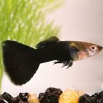 half-black-guppy