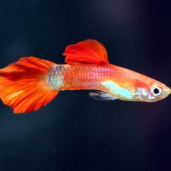 partly-red-guppy