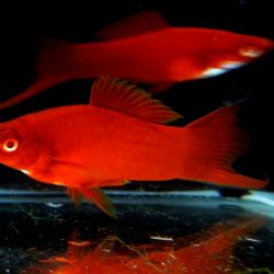 red-swordtail-fish