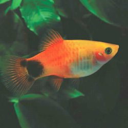 mickey-mouse-platy