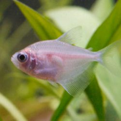 Colored White Skirt Tetra