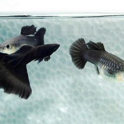 Black Moscow Guppies
