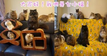 熱鬧的波斯貓大家庭!香港七小福淘氣的日常~