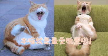 喵星人每天都是忙著在打呵欠!10個打呵欠時被偷拍的可愛貓咪,朕就是累了啊~
