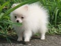 Jual Anjing Pomeranian