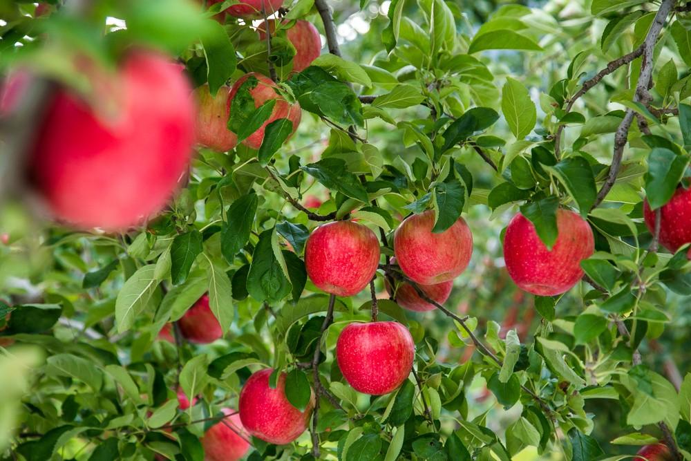 日本苹果品种多,知名的有像是「富士」。