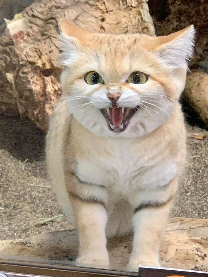 日本那須動物王國「沙漠天使」沙漠貓