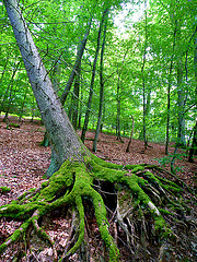Primeval Beech Forests of the Carpathians and the Ancient Beech Forests of Germany