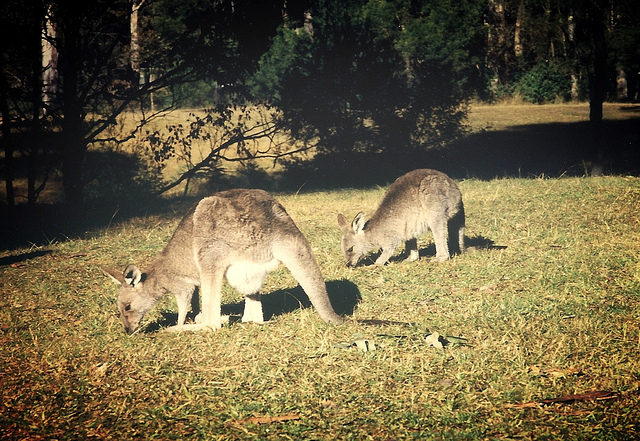 blue mountains kangaroos