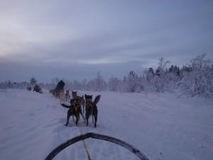 Dog sledging Laponian Area - Sweden  charlotte