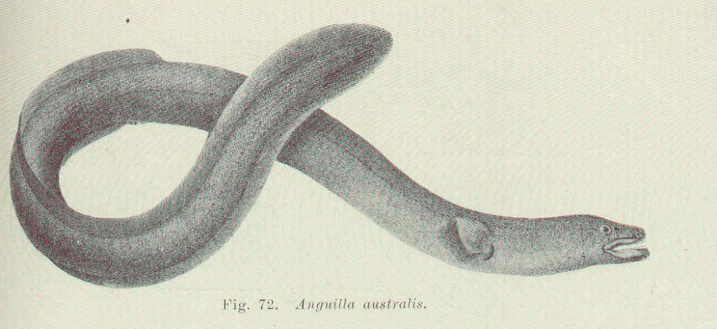 The short-finned eel, as illustrated by Edgar R. Waite.