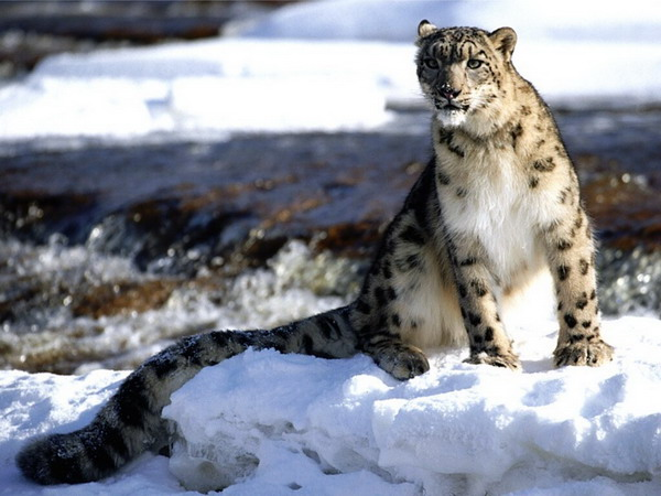 Snow leopard in Sangarmatha National Park