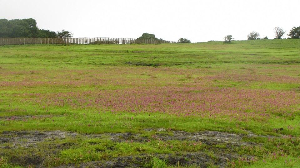 Kaas - Plateau of Flowers, Maharashtra