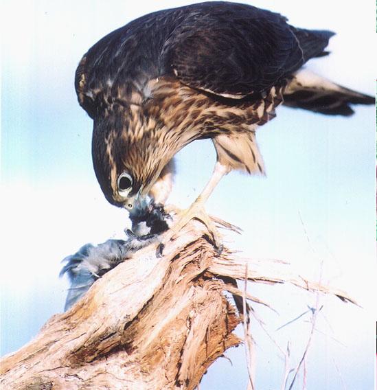 A falcon eating its prey Picture Courtesy: Rebecca O'Connor