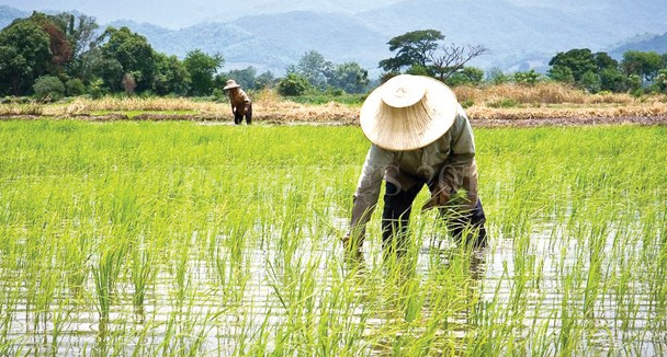 Rice Cultivation in Malawi wetlands. Photo Courtesy: BNL Times