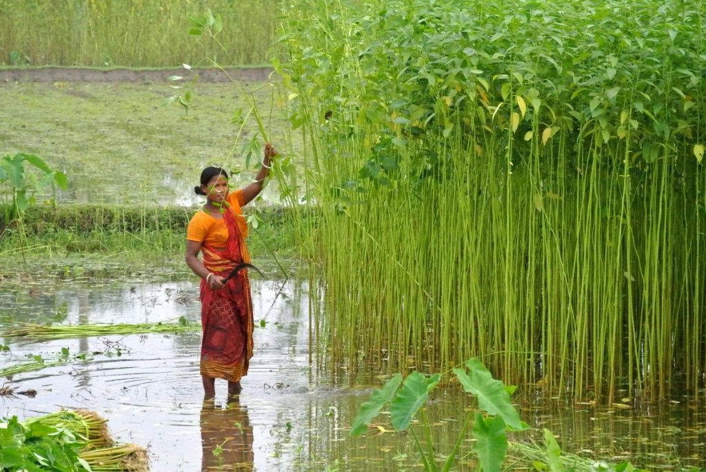 Jute, the 'golden fibre' being cultivated. Photo credit: brieencounter.wordpress