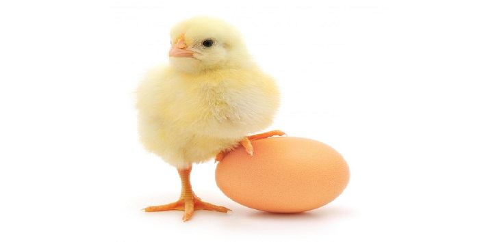 They could have been chicks