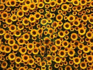 liu-bolin-sunflower