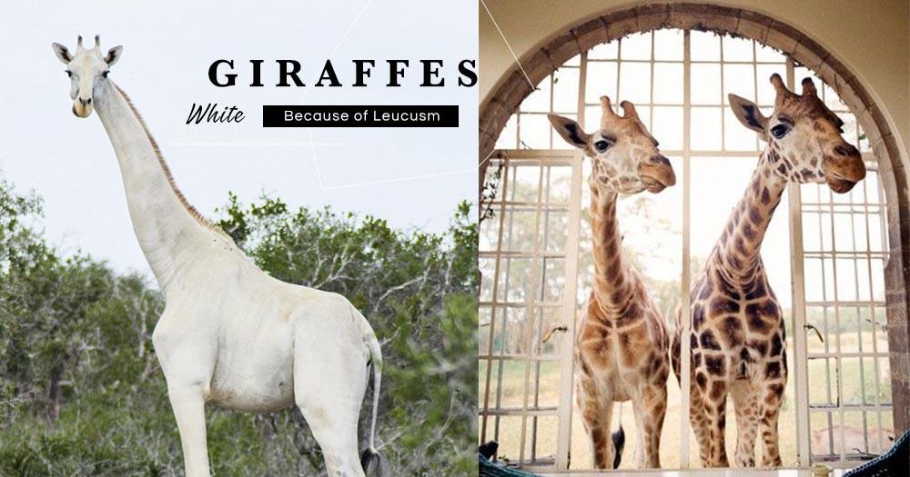 全身雪白長頸鹿,美得儼如夢幻生物真的存在!牠們悠閒生活在肯尼亞,首次成功拍下牠們生活影片!