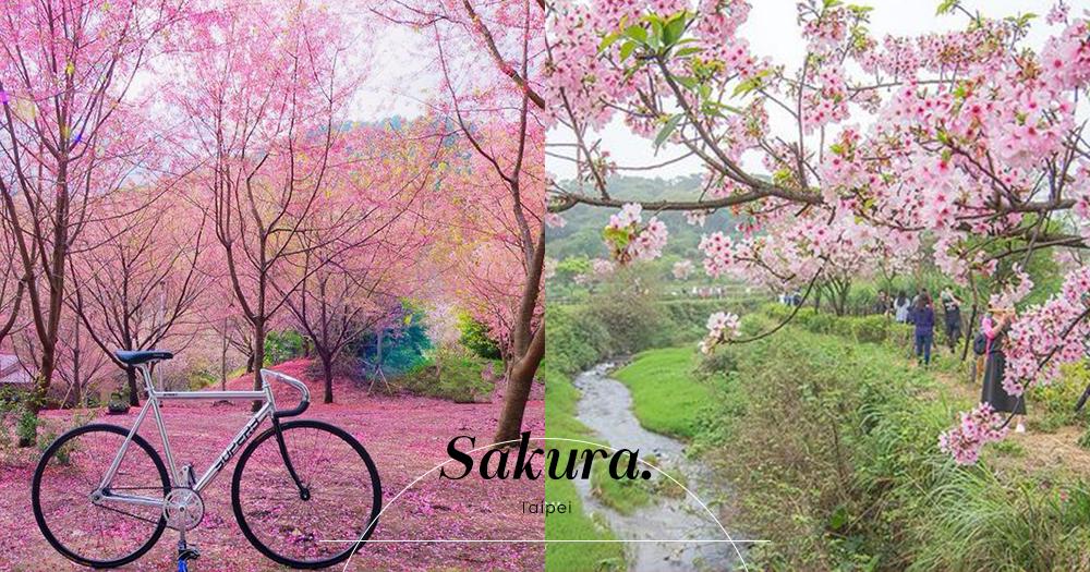 漫步櫻花樹下~台北新年櫻花處處盛開!公開5個浪漫賞櫻散策攻略!