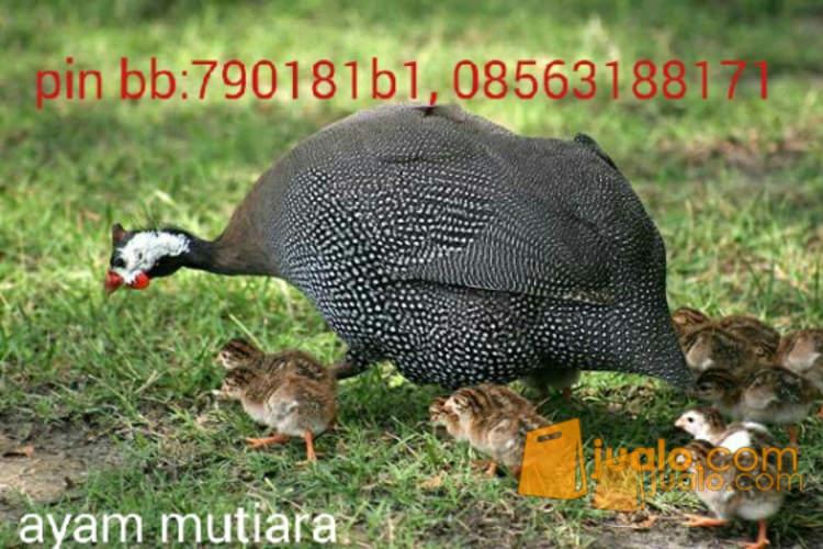 harga anak ayam mutiara-ayam hias mutiara Jualo.com