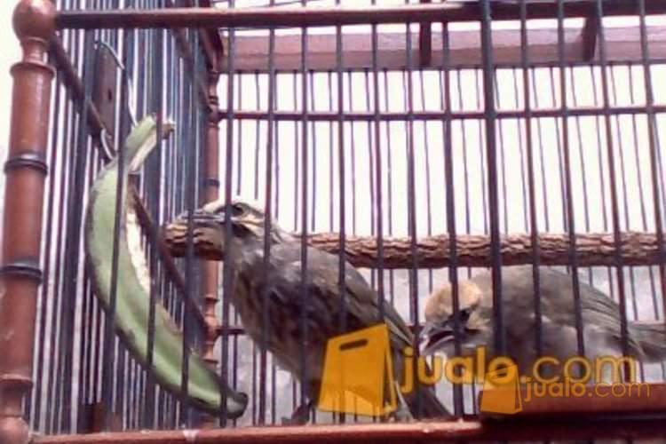 http://s3-ap-southeast-1.amazonaws.com/jualodev/original/1043085/sepasang-cucak-rowo-r-hewan-dan-perlengkapan-burung-1043085.jpg