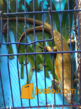 harga kadal ekor cabang2 Jualo.com