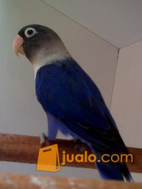 harga Burung Lovebird Violet Singgle Dark Factor Sdf Jualo.com