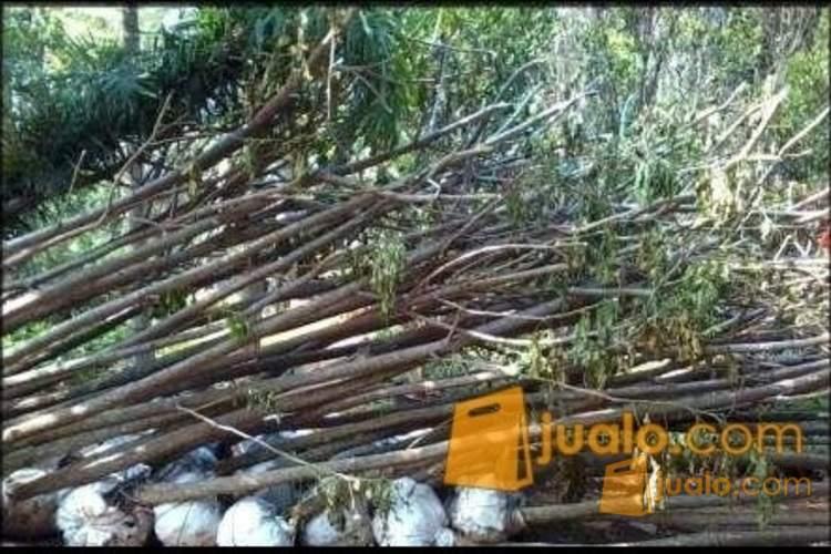 jual pohon bibit trembesi | tukang tanaman hias | tanaman buah