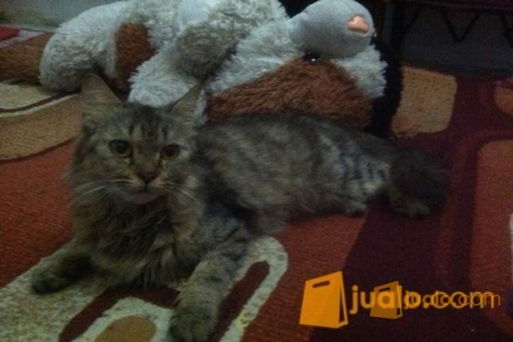 harga Kucing persia medium betina Jualo.com