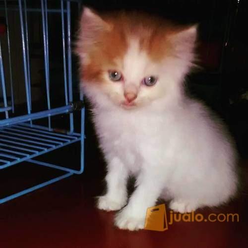 harga Kucing Kitten Persia Jantan Jualo.com