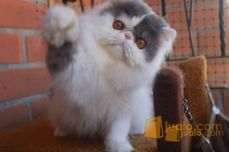 harga Kucing Persia Peaknose Bulu panjang Betina Jualo.com
