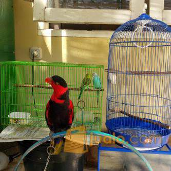 harga Burung NURI kepala hitam papua Jualo.com