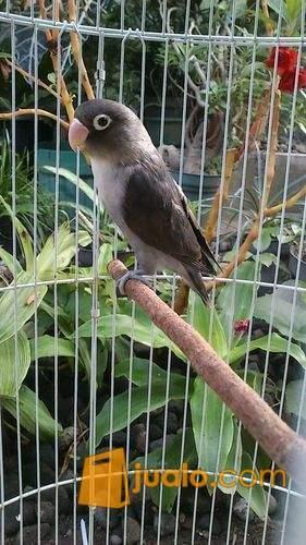 harga Lovebird Betmen Jantan Birahi Jualo.com