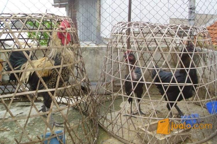 harga Ayam Pelung Asli Cianjur - Dewasa + Anaka Jualo.com
