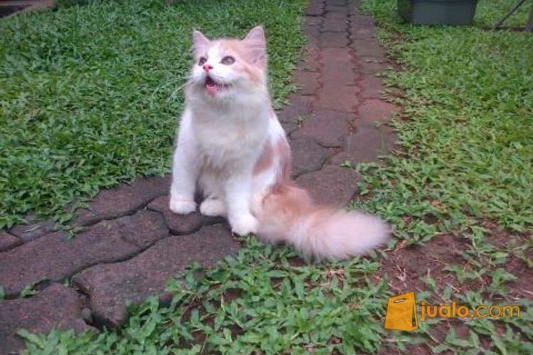 harga Kucing Persia ( betina ) 4 blnan Jualo.com