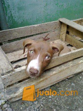 harga Anak anjing campuran pit bull \u0026 kancil 1 tahun Jualo.com