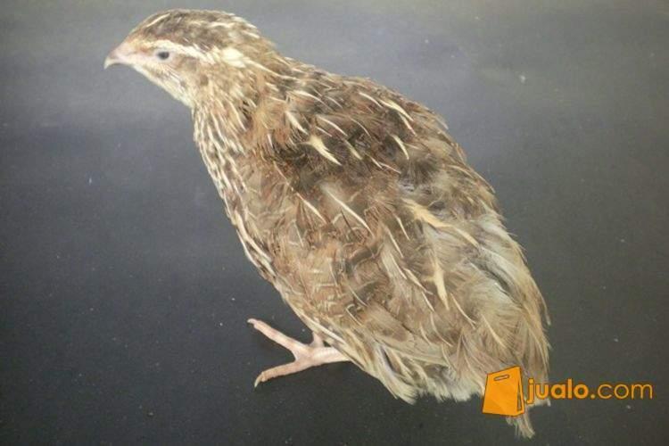 harga Burung Puyuh Potong/Bibit Jualo.com