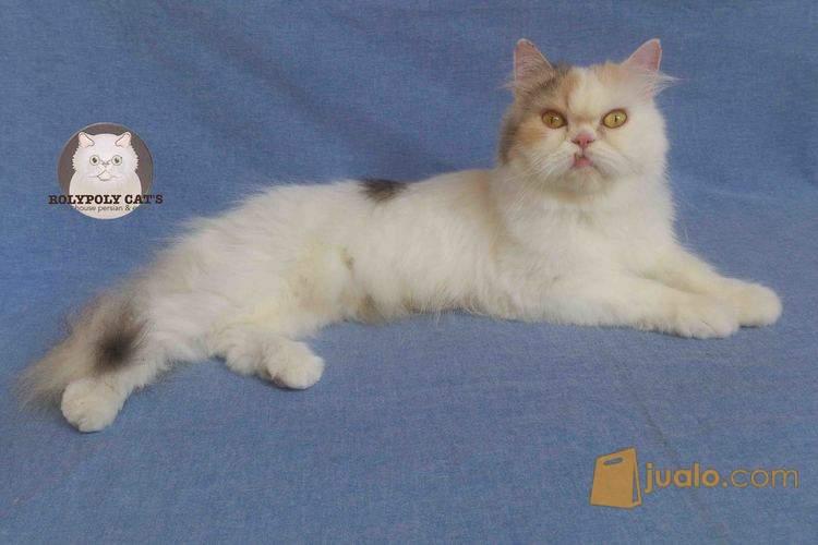 harga Kucing Persia Betina Jualo.com