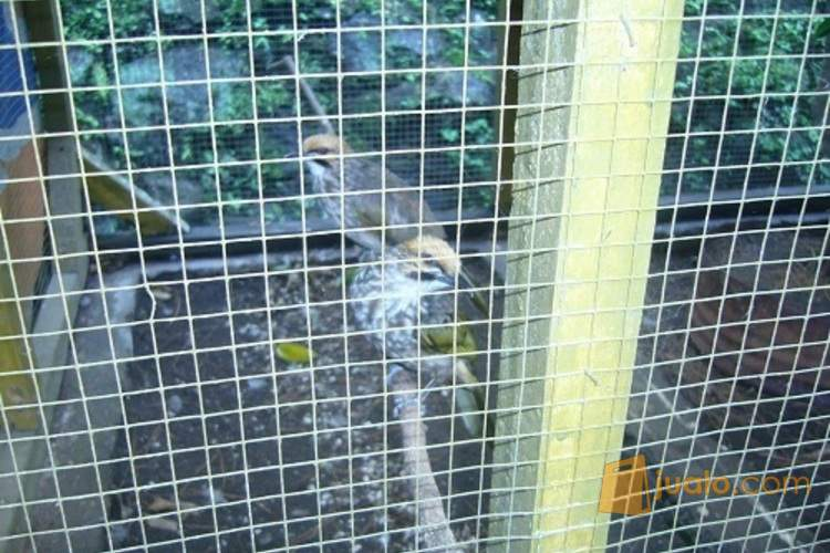 http://s3-ap-southeast-1.amazonaws.com/jualodev/original/1419543/seapasang-cucak-rowo-hewan-dan-perlengkapan-burung-1419543.jpg