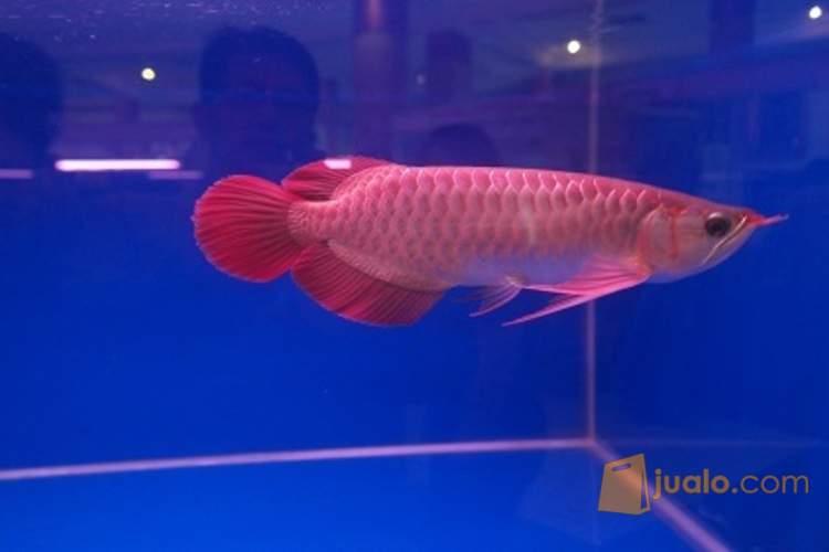 harga Ikan Arwana Jenis Super Red, lengkap chif/sertifikat. Jualo.com
