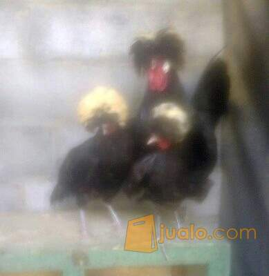 harga jual ayam polan mahkota jambul Jualo.com