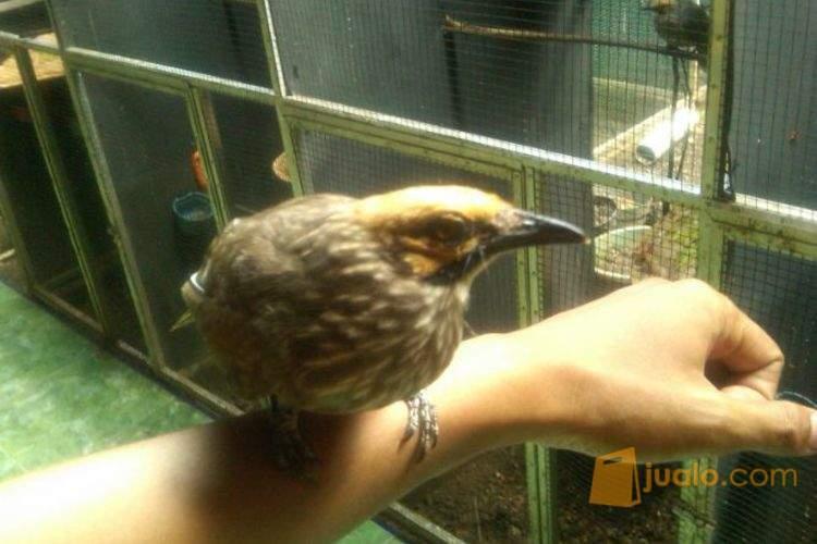 http://s3-ap-southeast-1.amazonaws.com/jualodev/original/1498437/burung-cucak-rowo-asl-hewan-dan-perlengkapan-burung-1498437.jpg