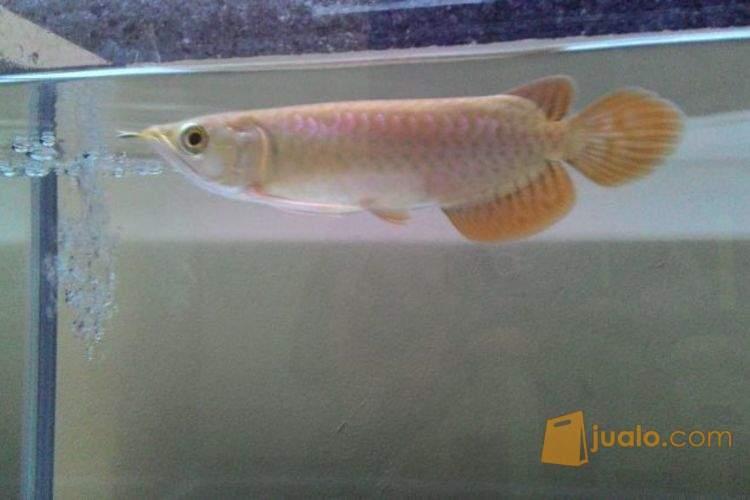harga Ikan Arwana Super Red 14-16 cm Jualo.com