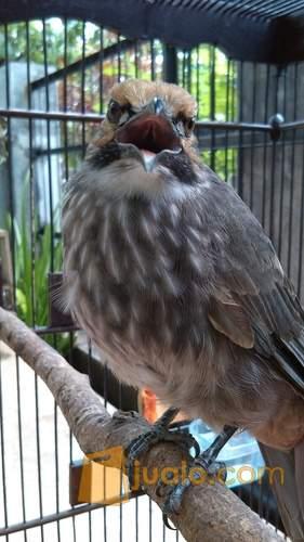 http://s3-ap-southeast-1.amazonaws.com/jualodev/original/1607680/cucak-rowo-muda-hewan-dan-perlengkapan-burung-1607680.jpg