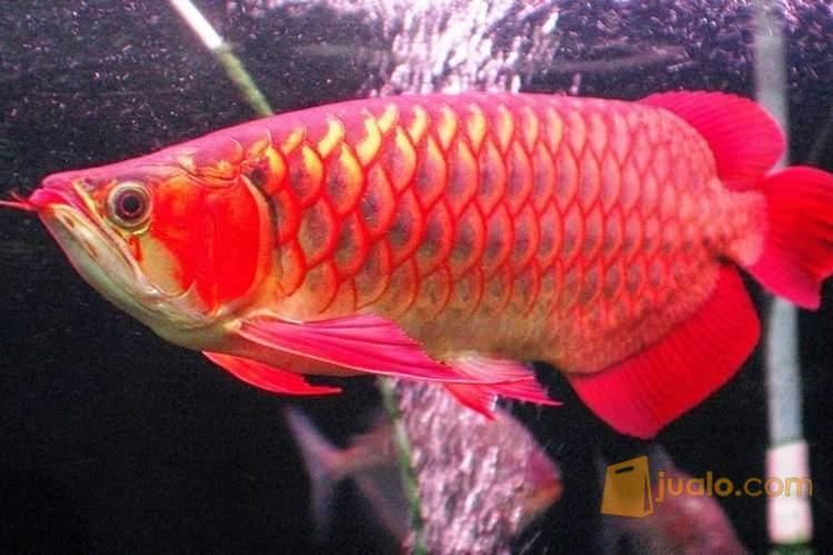 harga Ikan Arwana super red anakan \u0026 indukan, lengkap chif dan sertifikat. Jualo.com