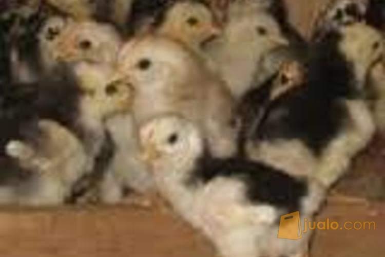 jual ayam kampung, ayam bangkok dan entog eceran