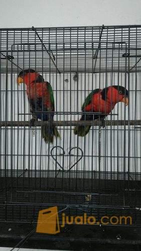 harga burung nuri kepala hitam Jualo.com